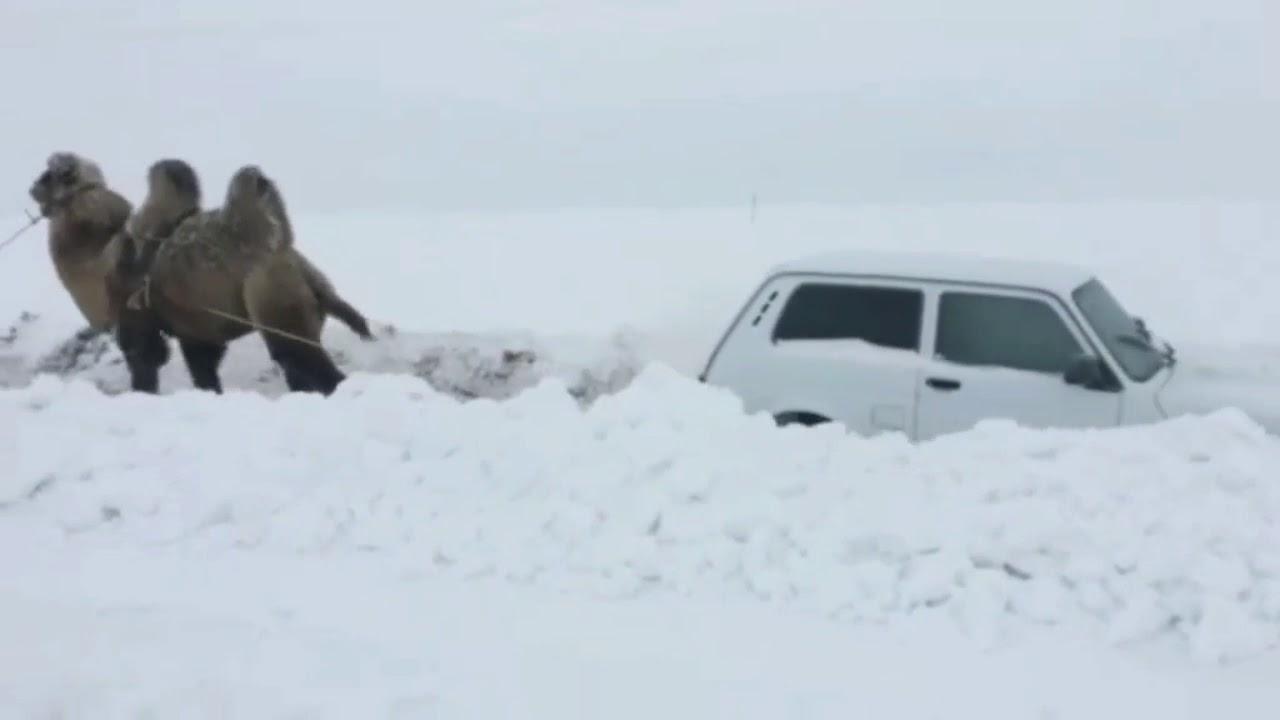 Vrchol bizarnosti: Ťava vyťahuje zo snehu Ladu Niva