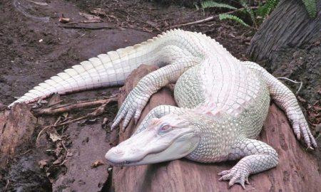Albinizmus