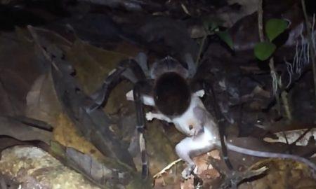 Nevhodné pre slabšie povahy: Obrovský pavúk verzus dospelá vačica