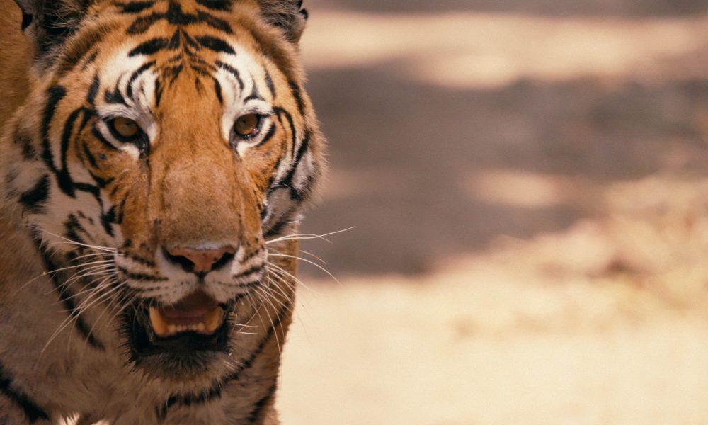 TOP10: Tigre