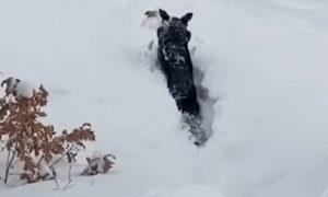 Záchrana psíka zapadnutého v hlbokom snehu vďaka vernému kamarátovi
