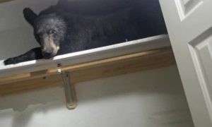Medveď vlamač zaspal v šatníku po tom, čo urobil prehliadku domu. Spiaceho ho našli policajti