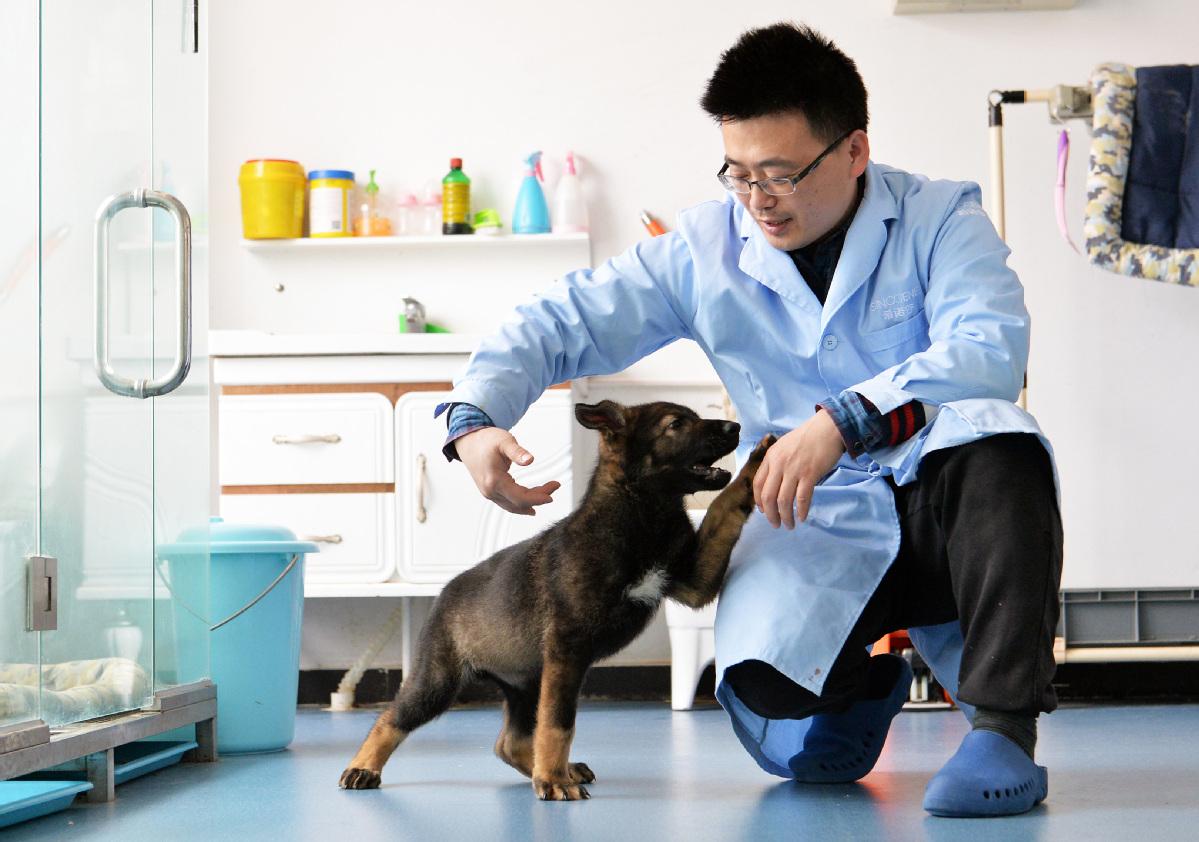 V Číne je prvý klonovaný policajný pes. Dostal prezývku Sherlock Holmes