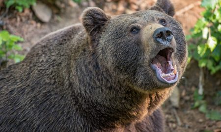 útok medveďa