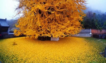 1400 rokov starý strom ginko vrhá na zem oceán zlatých listov