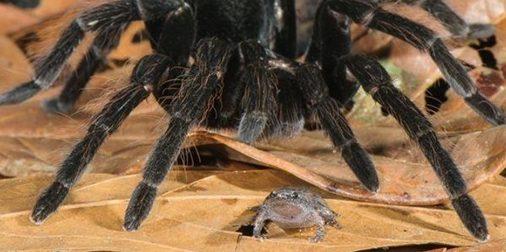 Vedel si, že tarantuly si nechávajú žaby ako domáce zvieratká?