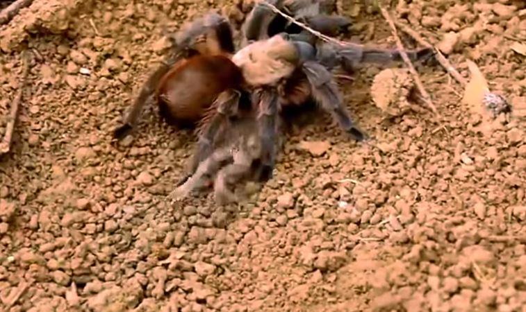 Vedel si, že tarantule si nechávajú žaby ako domáce zvieratká?